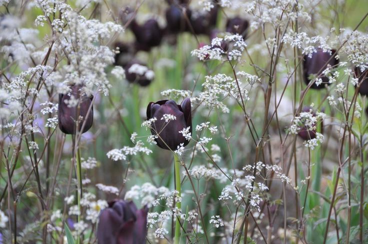Black tulips & lacey white umbels