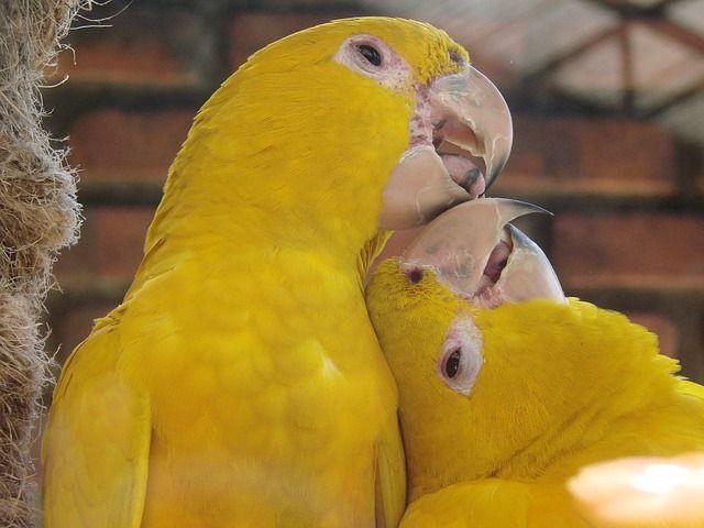 Pássaros Amarelos, Namoro, Animal - Imagem gratis no Pixabay