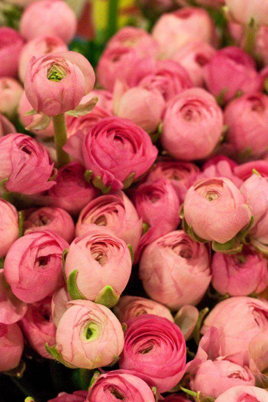 Pink ranunculus...