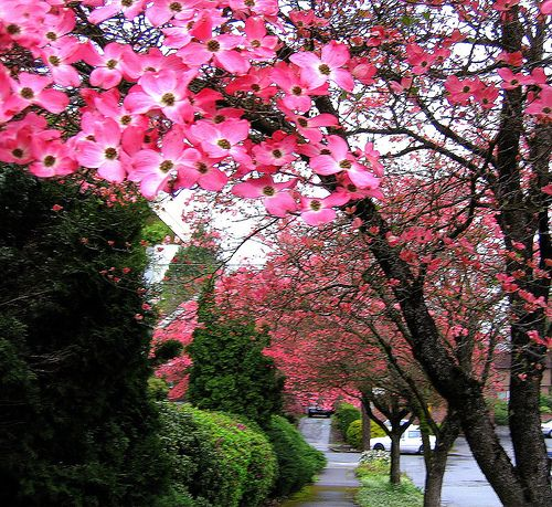 Dogwood... my most favorite Spring blooming tree.