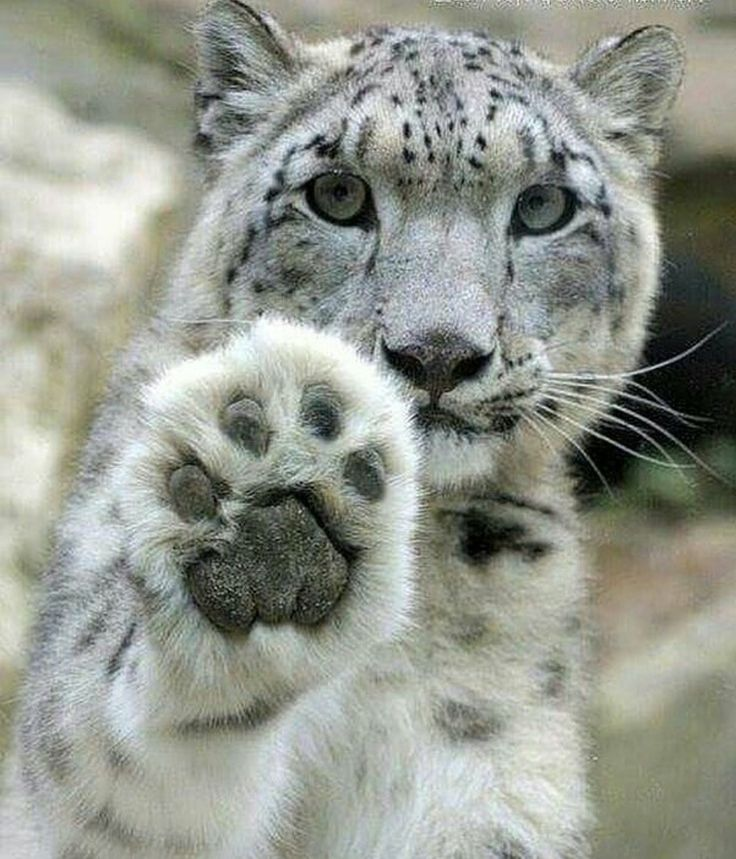 Hi, Snow Leopard