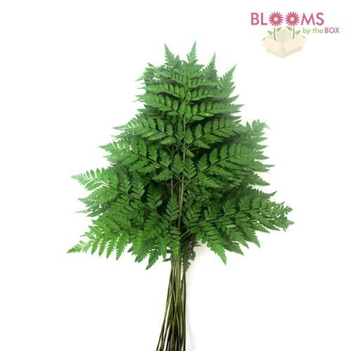 Wholesale Leather Leaf Fern (1/2 Box) - Bakers Fern - Blooms by the Box 1 bunch (25 in it) $5.95