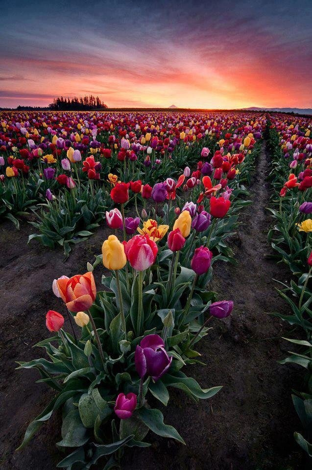 Amazing Places on Earth: Awesome Tulip Farm! Netherlands