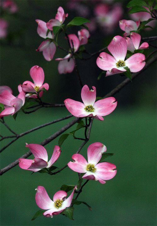 Pink Dogwoods, Cornus florida