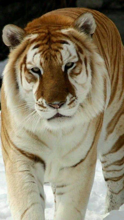 Resultado de imagem para white tiger and orange tiger mix