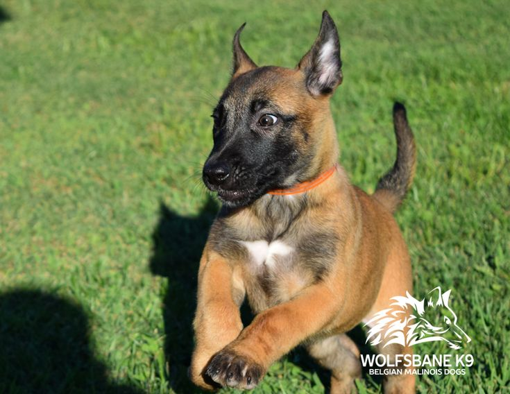 Belgian Malinois Puppies For Sale Wolfsbane K9. (With