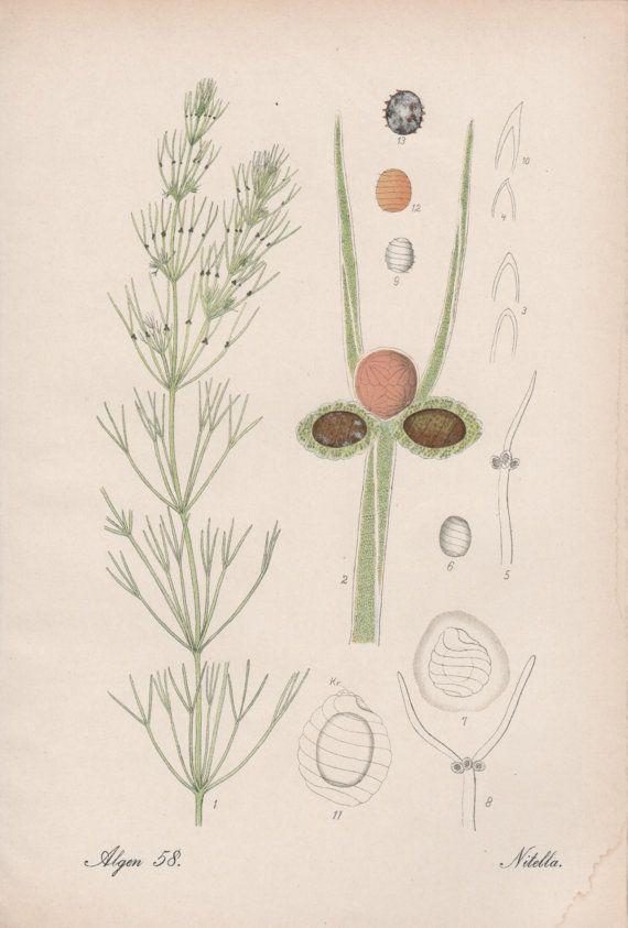1909 Green Algae Antique Print Seaweed Vintage by Craftissimo