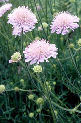 Scabiosa columbaria / RHS Gardening. branched perennial light bluish flowerheads 4 cm across in summer and early autumn