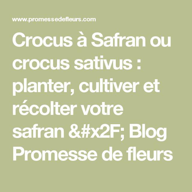 Crocus à Safran  ou crocus sativus : planter, cultiver et récolter votre safran / Blog Promesse de fleurs
