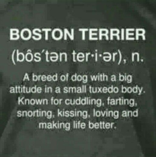 My girl, boston terrier quote