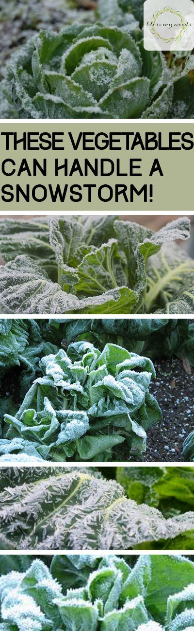 These Vegetables Can Handle a Snowstorm! - Bless My Weeds