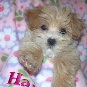 Maltese Poodle mixes, also called Maltipoos, are a cross between a Miniature or Toy Poodle & a Maltese. These mixed breed dogs are often given specific ...