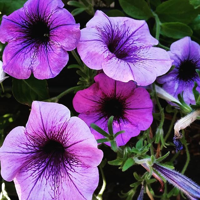 Colour of the year in my d #deckyard  . . #purpleflowers #purple #petunias #purplepetunias #instaflowers #nature #outdoors