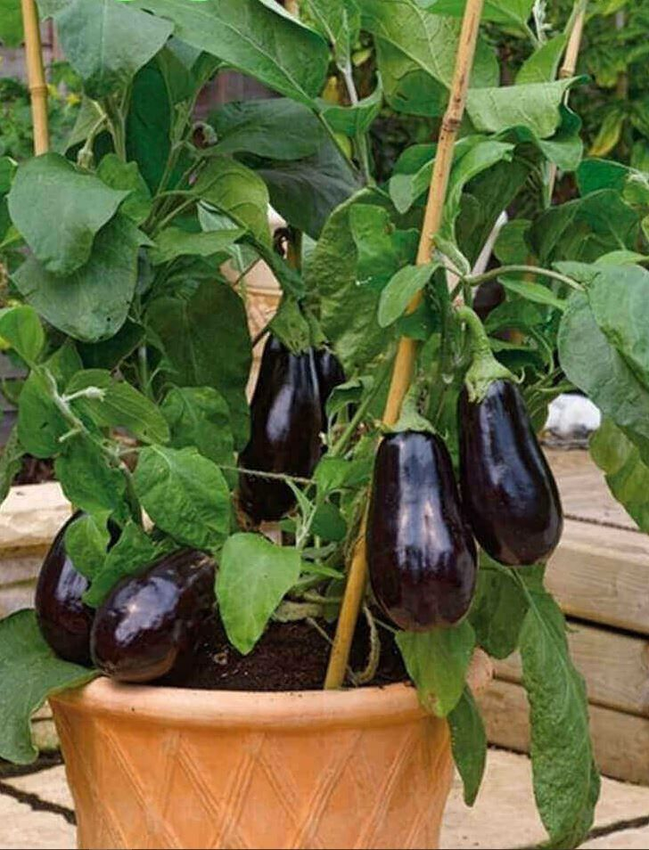 Secrets For Growing Eggplants In Pots And In Your Garden In 2020 Container Gardening Vegetables Growing Vegetables Growing Eggplant