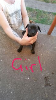 For sale 4 American staffy cross pups | Dogs & Puppies | Gumtree Australia George Town Area - George Town | 1166449785