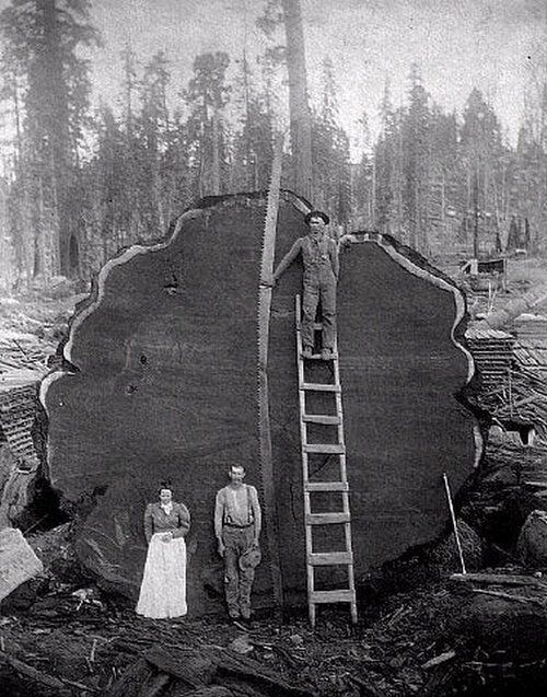 NOT sure why anyone would cut this down, but its a great documentary photograph, the photographer really had skill Sequoia