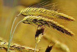 Зерно, Нива, Поле, Сельское Хозяйство