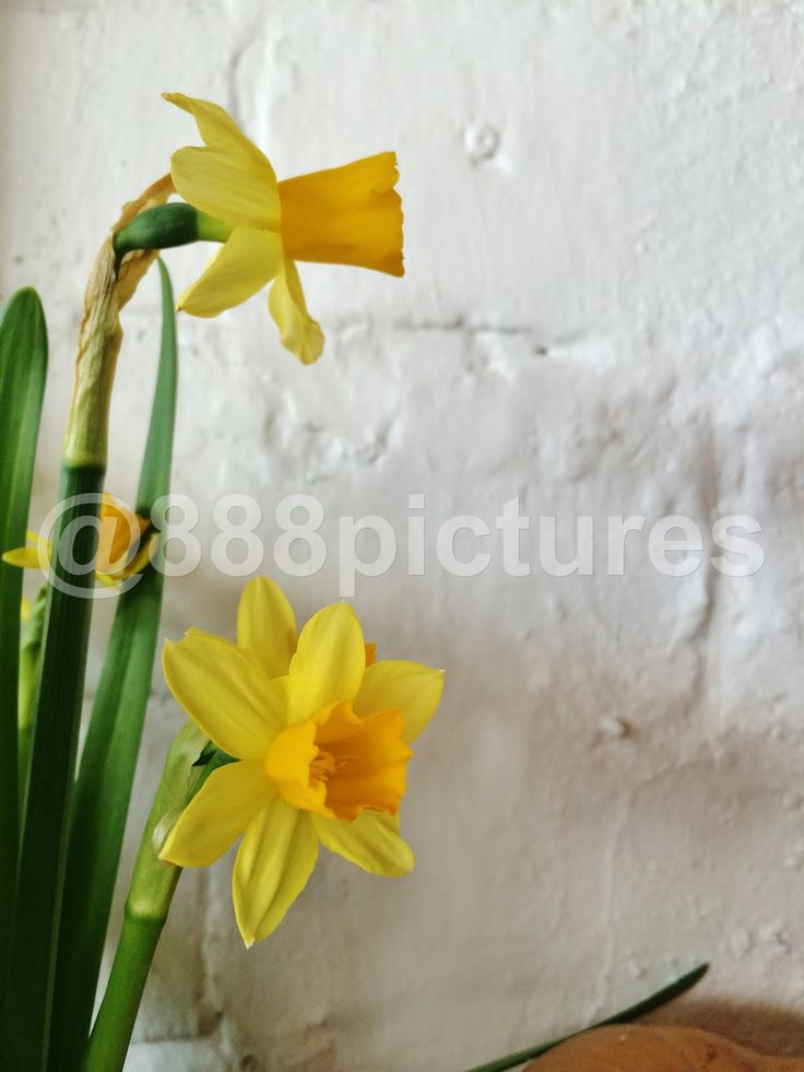 888 Pictures: Yellow Daffodil  #flower #daffodil #yellow #interior #design #decoration #flora
