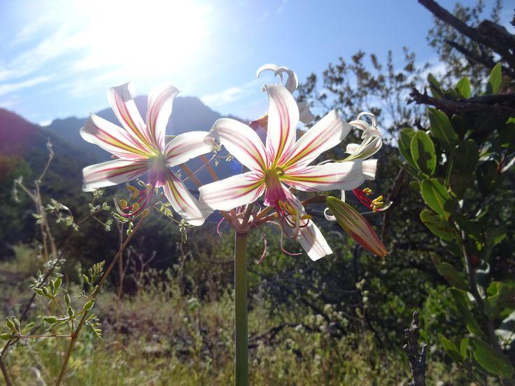 Placea arzae - Macaya - flora chilena