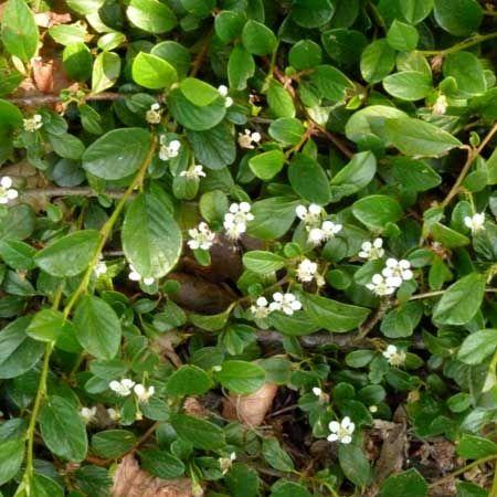 Cotoneaster dammeri