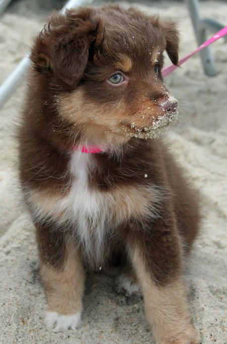 Bella the Australian Shepherd