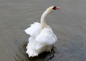 happy swan by Elizabeth Sztejner Skillings - elora,ont Click on the image to enlarge.