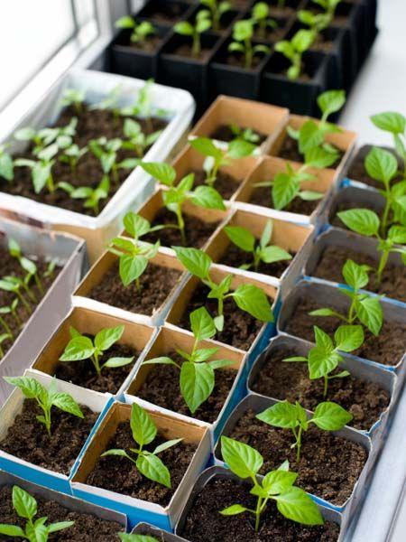67 besten garten paprika und chilli pflanzen bilder auf pinterest pflanzen gem se und. Black Bedroom Furniture Sets. Home Design Ideas
