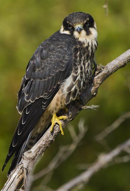 Faucon Hobereau // Baumfalke // Ógea // Eurasian Hobby (Falco Subbuteo) © Tommy Flies {magnifique rapace diurne} #falconidae #aves #falconiformes