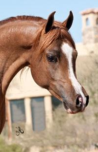 Arabian stallion Jagger, of Stonewall Farm