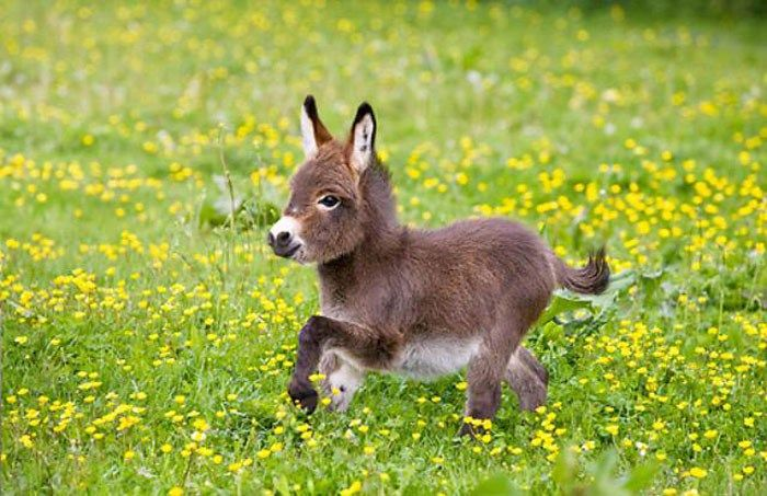 A cat or dog is great as your first pet, but if you are looking for something different, let me tell you; Miniature Donkeys are absolutely fabulous! These...