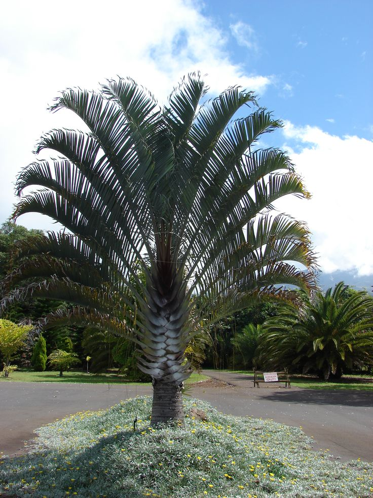 17 best images about palm trees on pinterest trees for Purchase trees