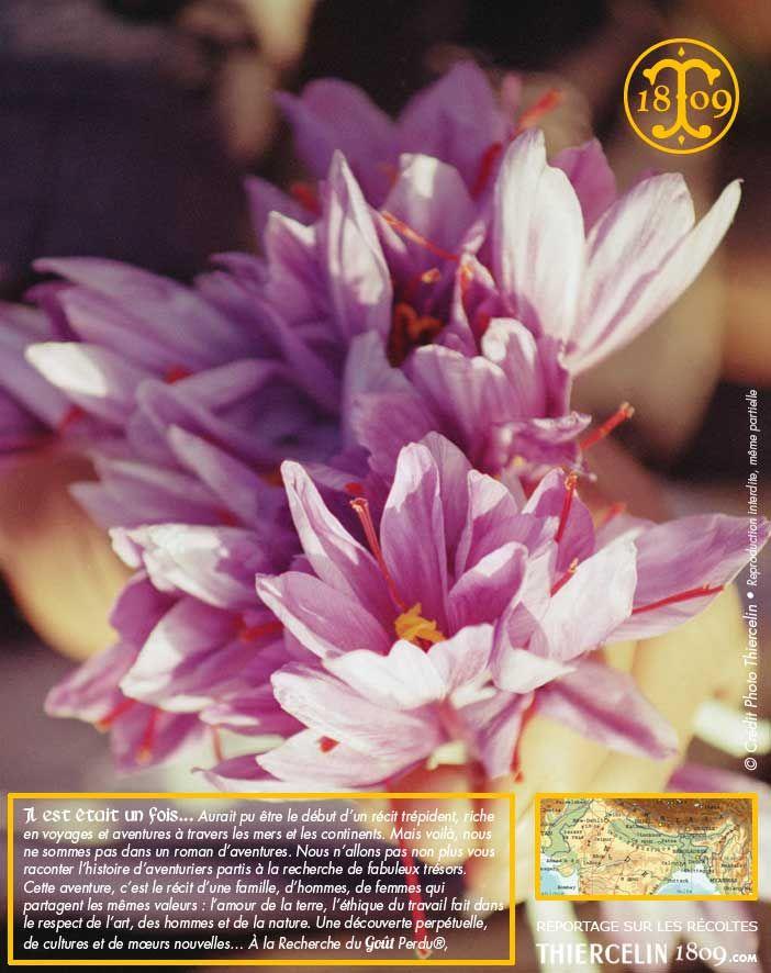 La fleur de safran : Voici un magnifique bouquet de safran qui présage d'une belle récolte. Découvrez notre reportage dans le fiche produit. Thiercelin