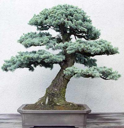 Photo du bonsai : Cèdre du Liban (Cedrus libani)