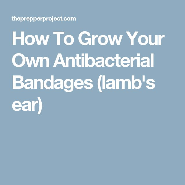 How To Grow Your Own Antibacterial Bandages (lamb's ear)