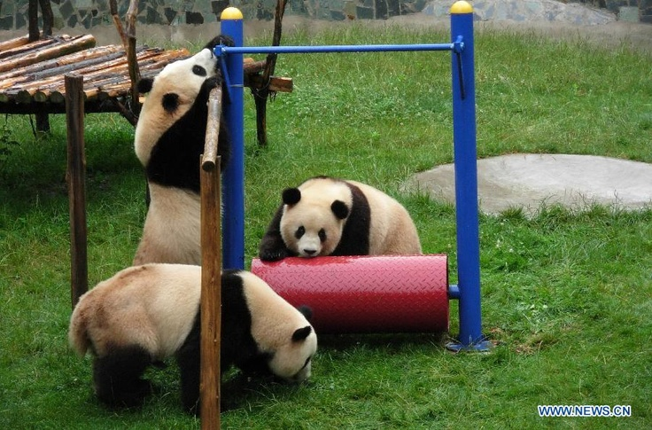 HOT - successful conservation efforts. Three giant pandas brought to Yunnan after the 2008 Wenchuan Earthquake are about the return to Sichuan to breed.(Xinhua)