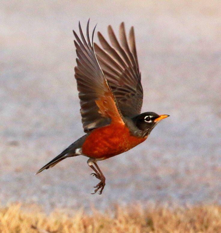 american robin bird flying -#main