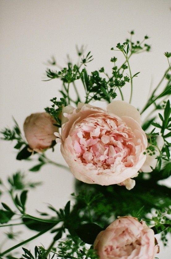 "peony millie says, ""those are beautiful"": Rose, Wedding, Bloom, Flowers, Garden, Peonies, Floral, Flower, Favorite Flower"