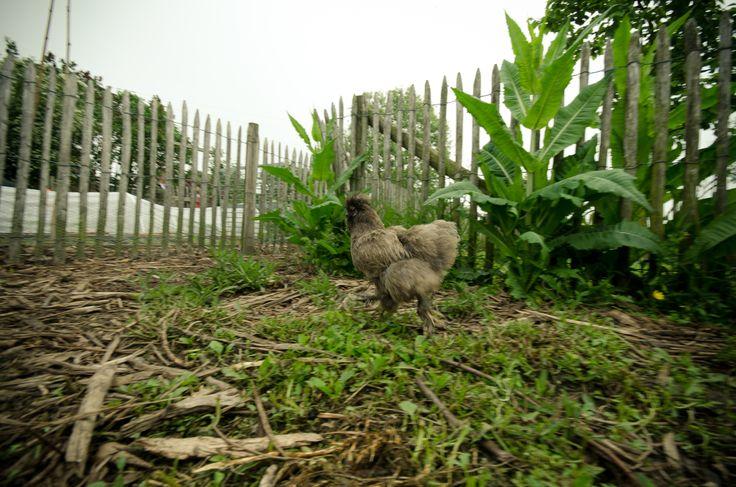 Luie manier om kippen te houden: houtkrullen en houtas.