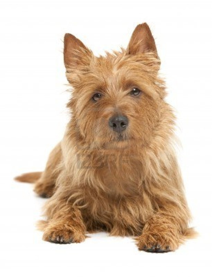 australian terrier - Google-haku