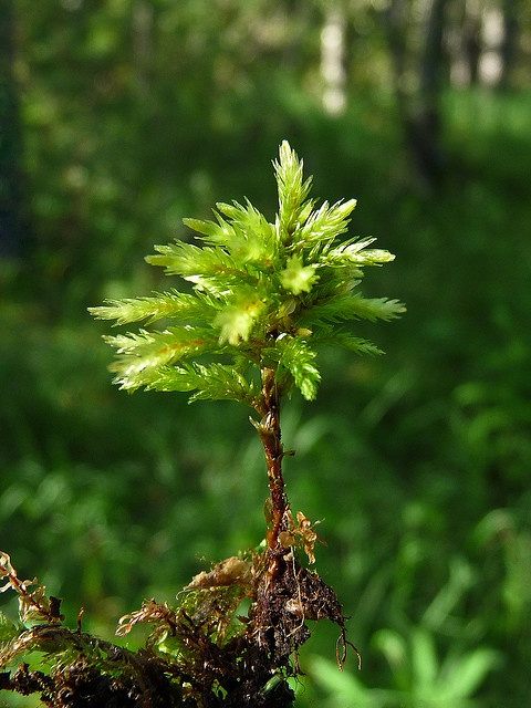 Climacium dendroides moss (dorůstá do výšky až 10 cm a vyskytuje se většinou v početných skupinách)