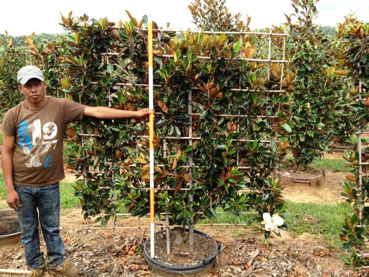 Little Gem Magnolia Espalier Deciduous Trees Pinterest Deciduous Trees And Plants