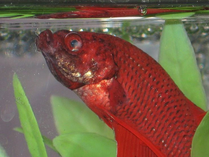 29 best images about fish disease prevention on pinterest for Betta fish temp