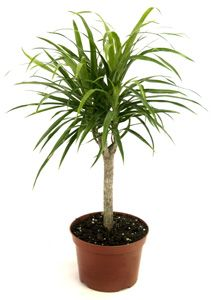 Dracaena anita indoor plant info pinterest house plants plants and nice - Nice indoor plants ...