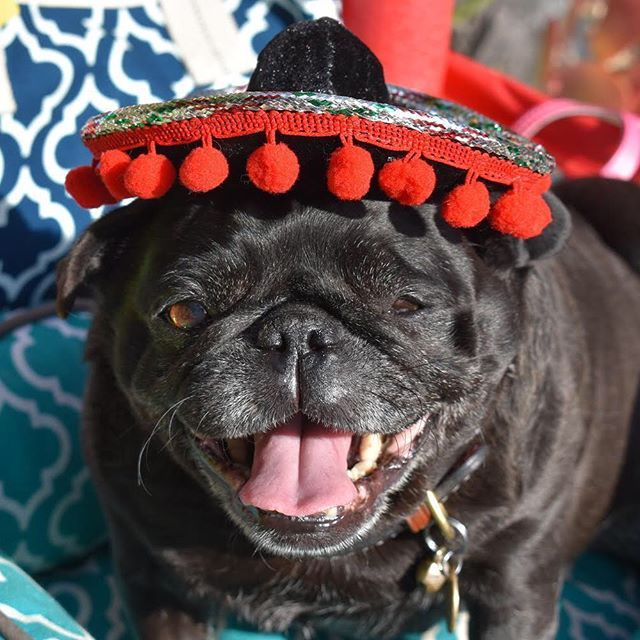 Come Join The 27th Pug Cinco De Mayo Fiesta For The Pug Rescue Of