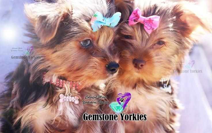 Pin on Yorkie puppy