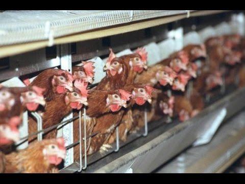 Cómo producir Huevos Ecológicos (Avicultura Ecológica) - TvAgro por Juan Gonzalo Angel - YouTube