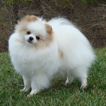 Cream and White Parti- Pomeranian Colours - POMERANIAN CLUB OF SOUTH WALES