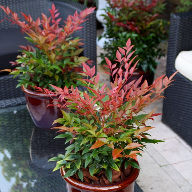 16 per 3 gallon shrub nandina these are paired with the boxwoods front of bed near street. Black Bedroom Furniture Sets. Home Design Ideas