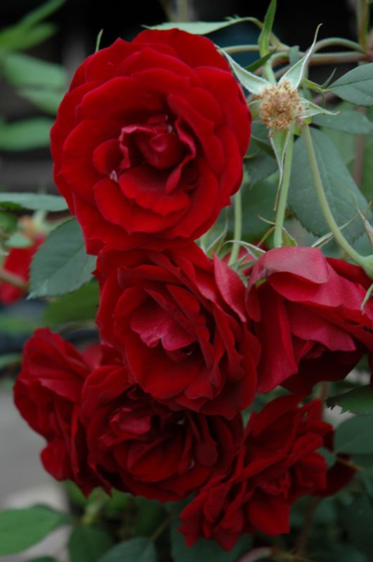 Hope for Humanity Rose (Rosa 'Hope for Humanity') at Salisbury Greenhouse and Landscaping