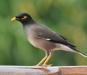 18 best images about Mynah Bird Care and Information on ... - photo#21